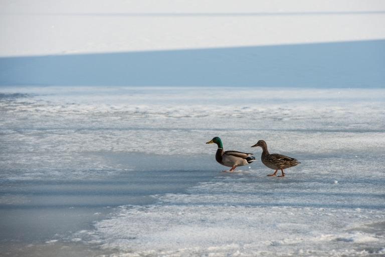 Ein Entenpaar auf einem vereisten See