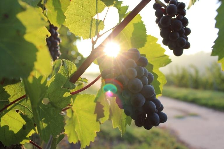 Weintrauben in Blau
